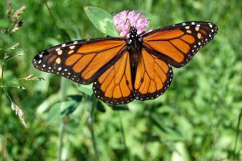 monarch meachum grove