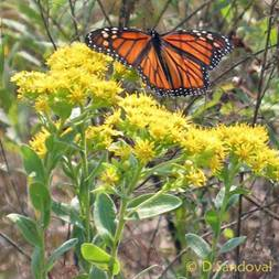 Monarch Butterfly on Stiff Goldenrod