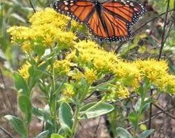 Monarch Butterfly on Stiff Goldenrod
