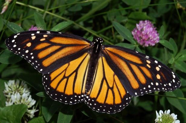 monarchconservationfoundationgrant