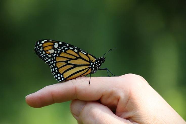monarchtheresedavis