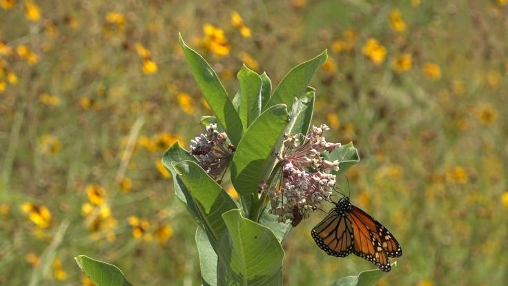 Belmont Pollinator 3