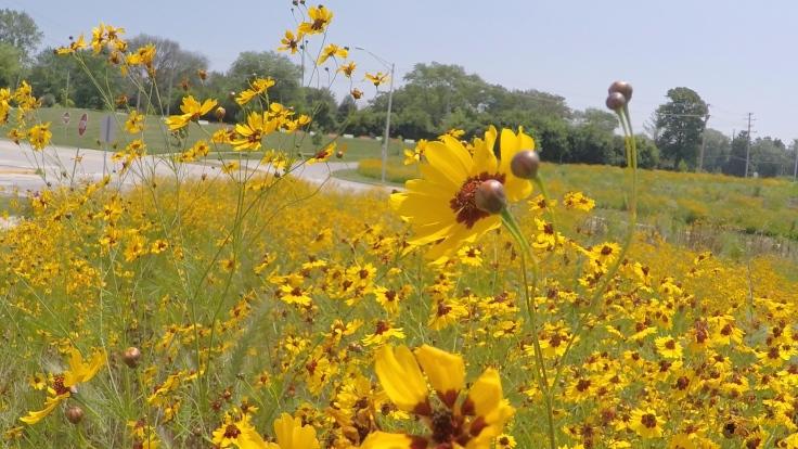 Belmont Pollinator Garden 2